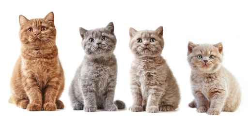 various british kittens